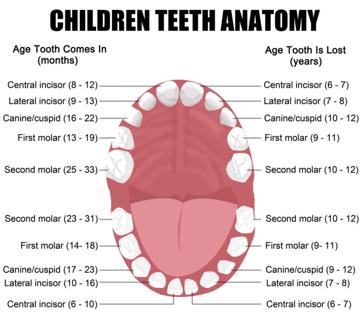 Children Teeth Anatomy Feathersound Smiles Cosmetic Dentist